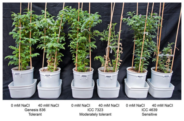 A step closer to salt tolerant chickpea crops