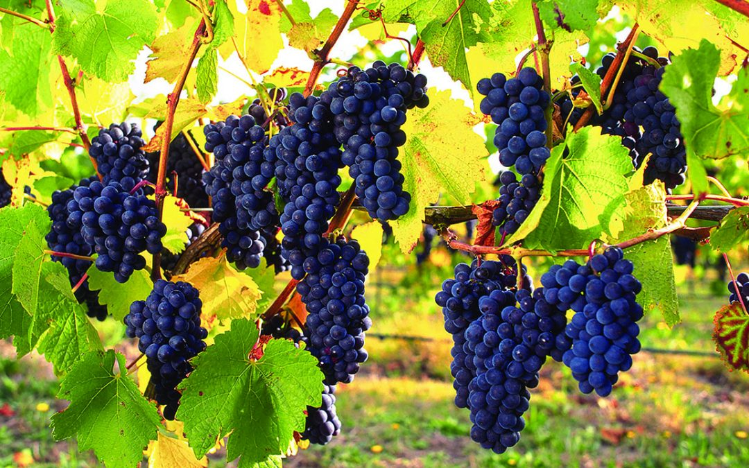 New discovery to accelerate development of salt-tolerant grapevines