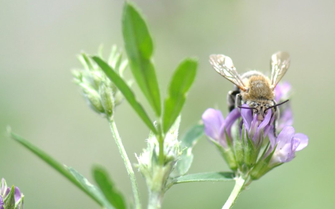Enhancing blue-banded bees in lucerne