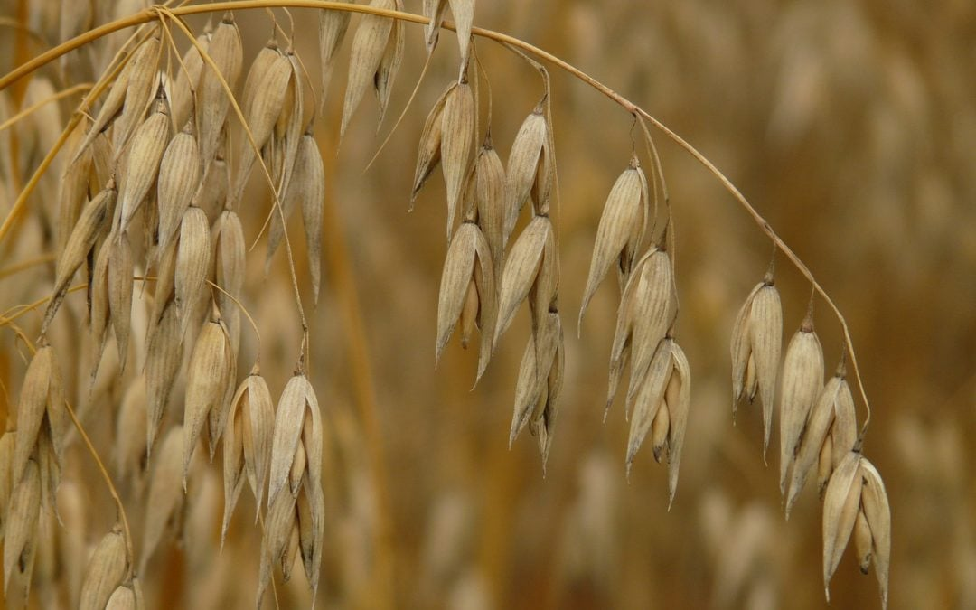 New high yield oat variety to help reduce cholesterol