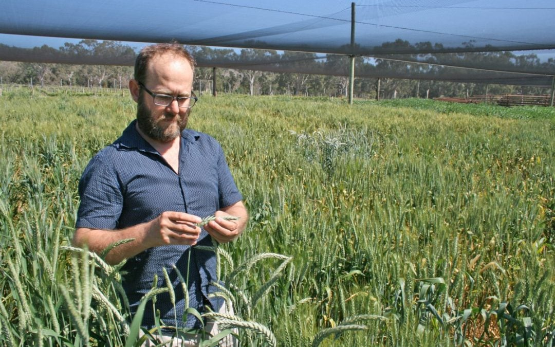 Researchers identify gene to help hybrid wheat breeding