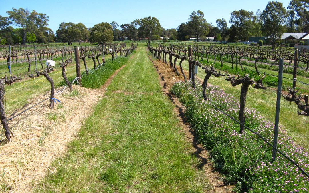 Under-vine cover crops show their value