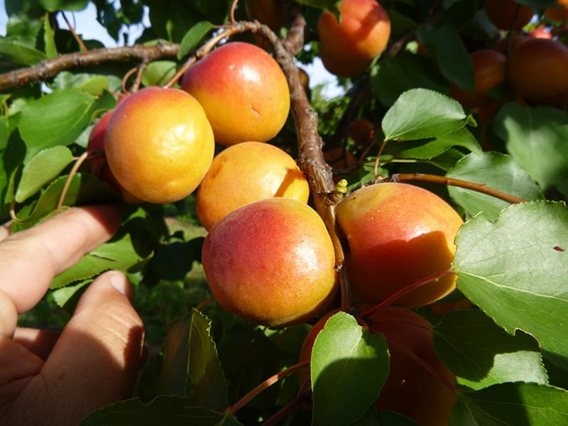 First bite at new Australian apricot varieties to provide welcome boost to industry