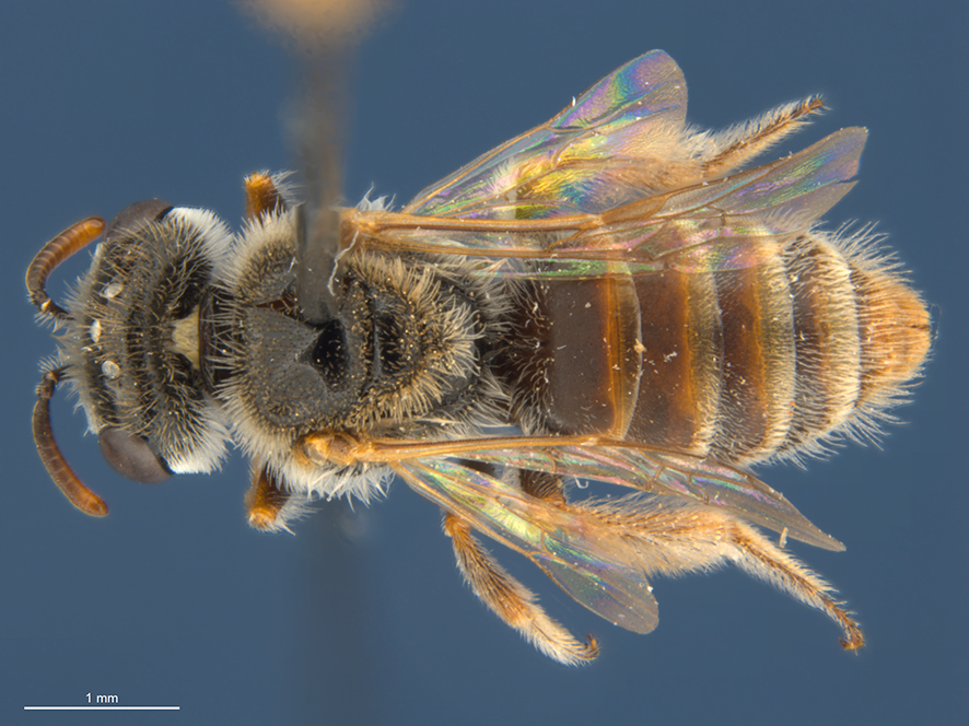 Twenty six new bee species discovered in the Australian Outback