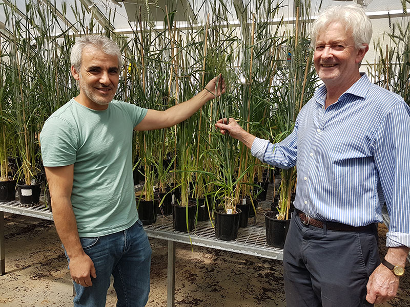 Game changing salt tolerant wheat set for field trials