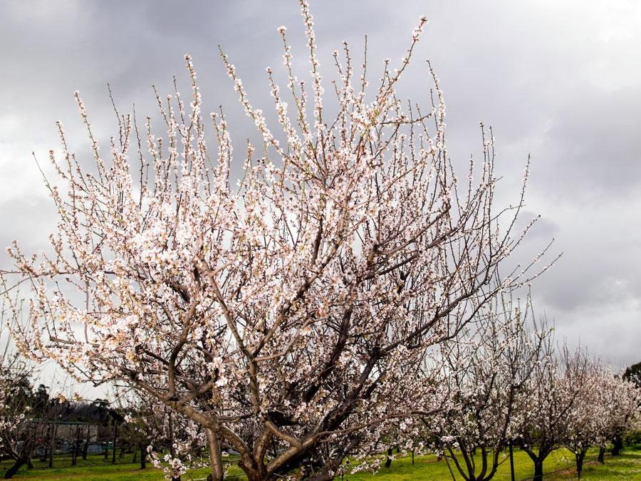 Self-fertile almond varieties create buzz ahead of harvest