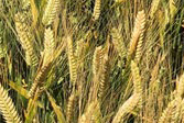 New barley variety 'Laperouse'