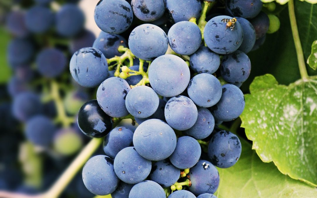 Slowing the Sugar Rush to Yield Better Grapes