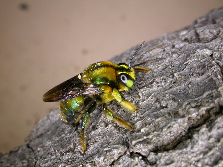 'Jewel of nature': scientists fight to save a glittering green bee after the summer fires
