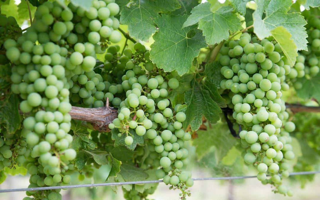 grapes-chardonnay-pixabay
