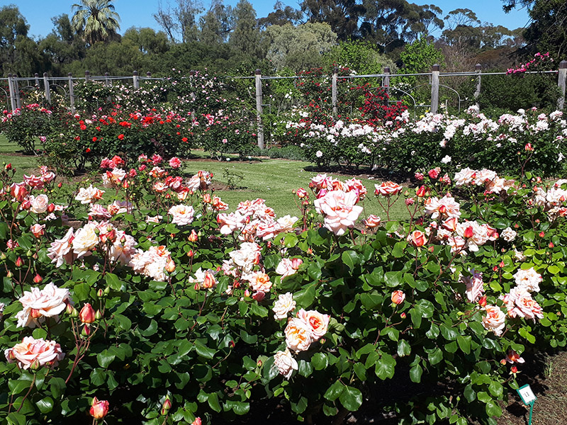Spring into the Urrbrae House rose garden!