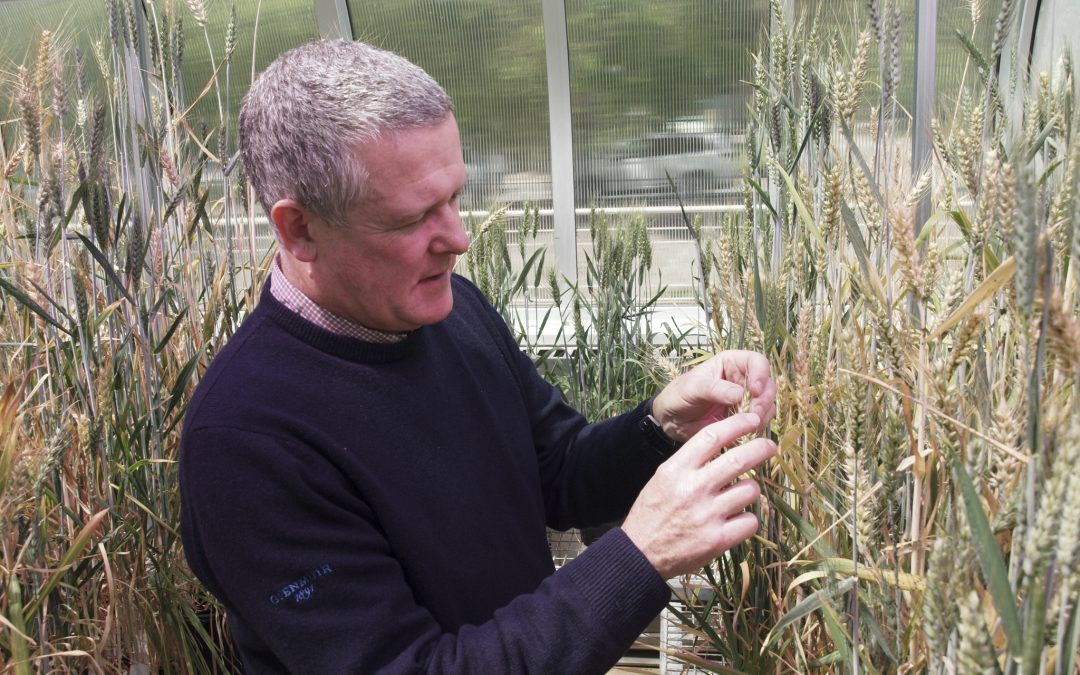 Ken Chalmers inspecting wheat