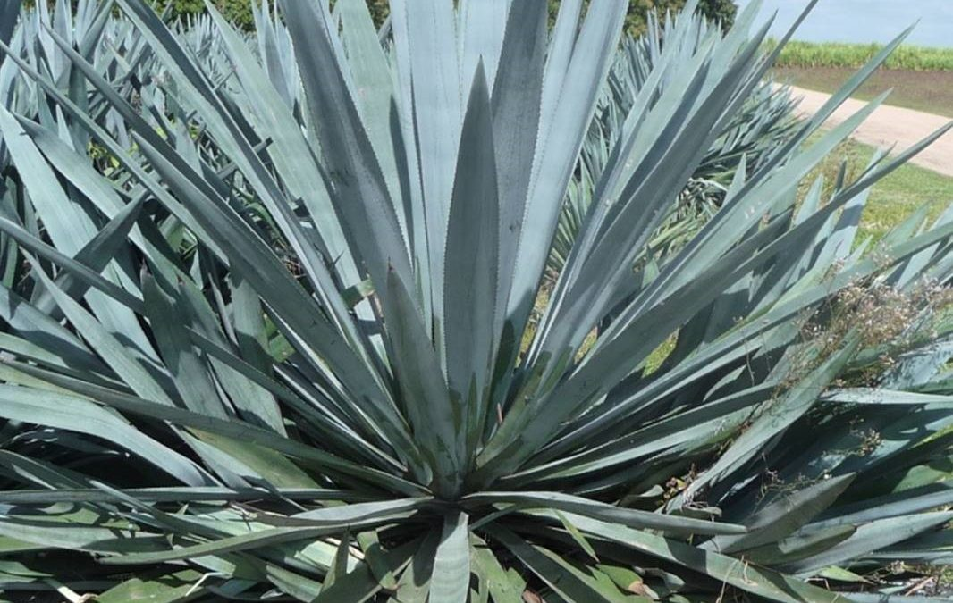 ARC Linkage wins include Agave and soil ecology projects